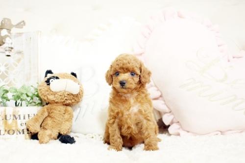 トイプードルの子犬(ID:1255411634)の2枚目の写真/更新日:2017-05-02