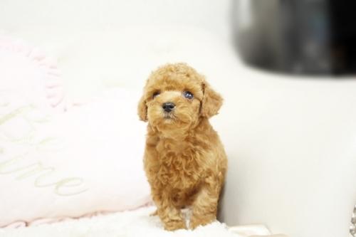 トイプードルの子犬(ID:1255411634)の3枚目の写真/更新日:2017-05-02