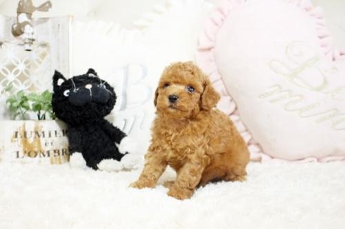 トイプードルの子犬(ID:1255411634)の5枚目の写真/更新日:2017-05-02