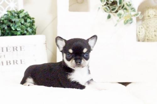 チワワ(スムース)の子犬(ID:1255411635)の1枚目の写真/更新日:2017-05-02