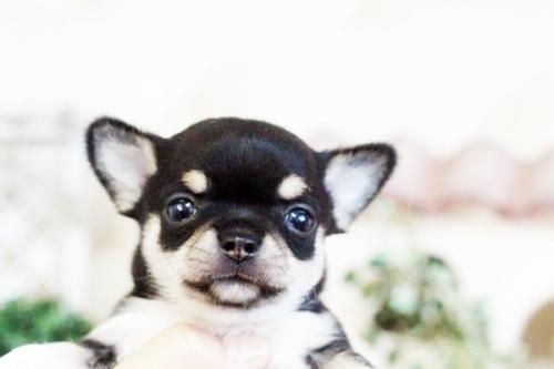 チワワ(スムース)の子犬(ID:1255411635)の2枚目の写真/更新日:2017-05-02