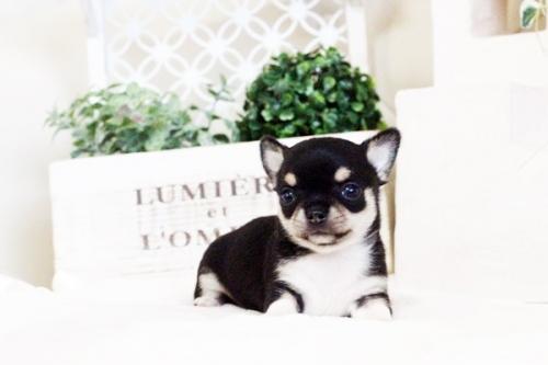 チワワ(スムース)の子犬(ID:1255411635)の3枚目の写真/更新日:2017-05-02