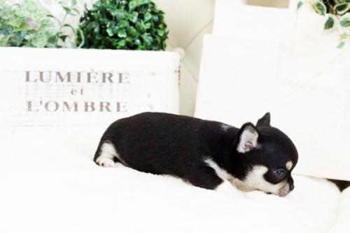 チワワ(スムース)の子犬(ID:1255411635)の4枚目の写真/更新日:2017-05-02