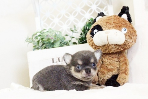 チワワ(ロング)の子犬(ID:1255411636)の1枚目の写真/更新日:2017-05-02
