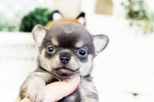 チワワ(ロング)の子犬(ID:1255411636)の2枚目の写真/更新日:2017-05-02