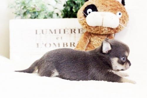 チワワ(ロング)の子犬(ID:1255411636)の3枚目の写真/更新日:2017-05-02