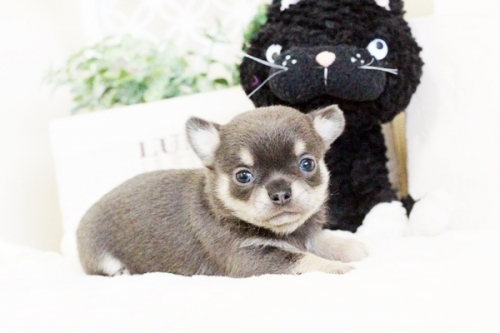 チワワ(ロング)の子犬(ID:1255411637)の1枚目の写真/更新日:2017-05-02
