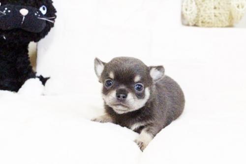 チワワ(ロング)の子犬(ID:1255411637)の3枚目の写真/更新日:2017-05-02
