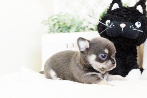 チワワ(ロング)の子犬(ID:1255411637)の4枚目の写真/更新日:2017-05-02