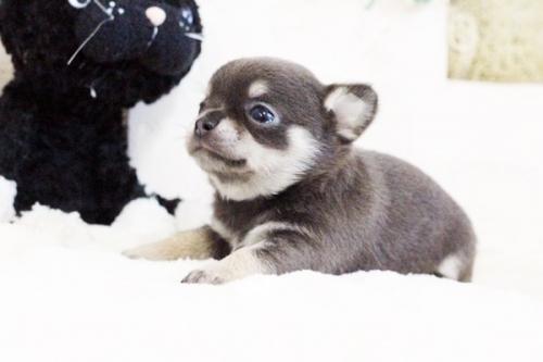 チワワ(ロング)の子犬(ID:1255411637)の5枚目の写真/更新日:2017-05-02