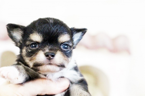チワワ(ロング)の子犬(ID:1255411638)の2枚目の写真/更新日:2017-05-02