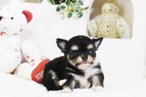チワワ(ロング)の子犬(ID:1255411638)の4枚目の写真/更新日:2017-05-02