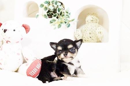チワワ(ロング)の子犬(ID:1255411638)の5枚目の写真/更新日:2017-05-02