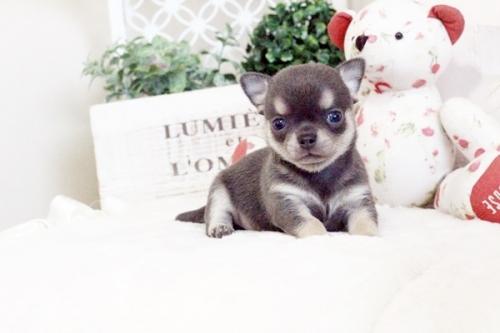 チワワ(スムース)の子犬(ID:1255411639)の1枚目の写真/更新日:2017-05-02