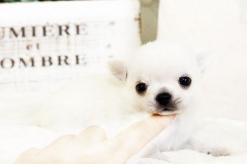 チワワ(ロング)の子犬(ID:1255411640)の1枚目の写真/更新日:2017-05-02