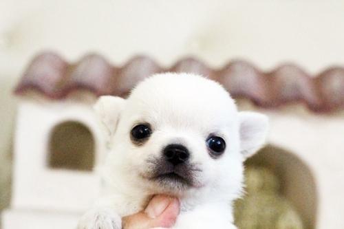 チワワ(ロング)の子犬(ID:1255411640)の2枚目の写真/更新日:2017-05-02