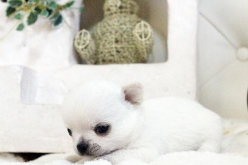 チワワ(ロング)の子犬(ID:1255411640)の3枚目の写真/更新日:2017-05-02