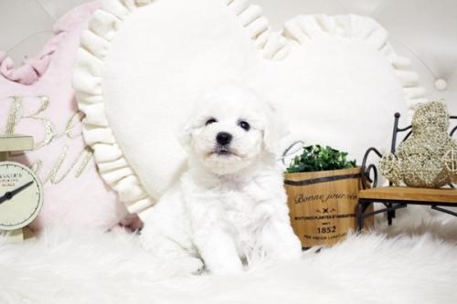ビションフリーゼの子犬(ID:1255411641)の1枚目の写真/更新日:2017-05-07