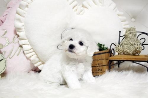 ビションフリーゼの子犬(ID:1255411641)の2枚目の写真/更新日:2017-05-07