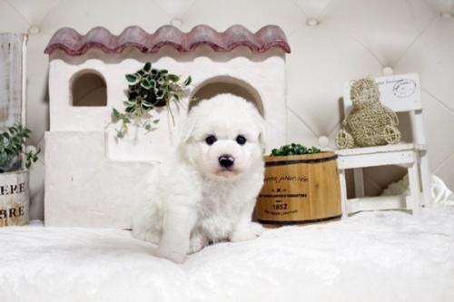 ビションフリーゼの子犬(ID:1255411642)の1枚目の写真/更新日:2017-05-07