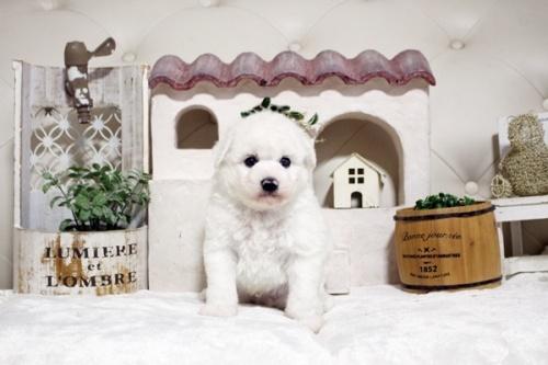 ビションフリーゼの子犬(ID:1255411642)の3枚目の写真/更新日:2017-05-07