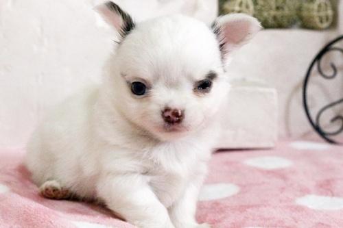 チワワ(ロング)の子犬(ID:1255411643)の1枚目の写真/更新日:2017-05-11