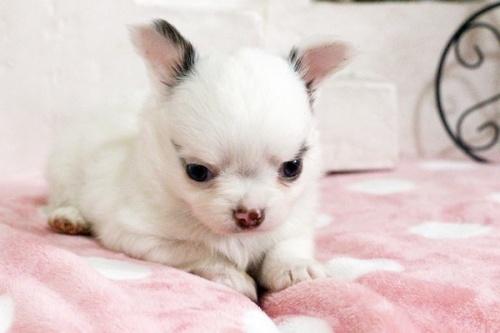 チワワ(ロング)の子犬(ID:1255411643)の3枚目の写真/更新日:2017-05-11