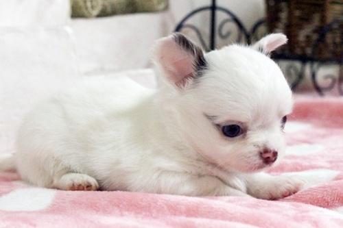 チワワ(ロング)の子犬(ID:1255411643)の4枚目の写真/更新日:2017-05-11