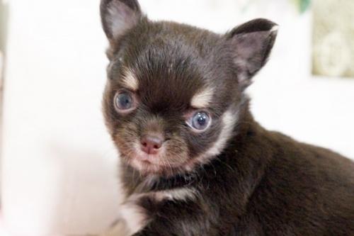 チワワ(ロング)の子犬(ID:1255411644)の1枚目の写真/更新日:2017-05-11