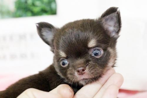 チワワ(ロング)の子犬(ID:1255411644)の2枚目の写真/更新日:2017-05-11