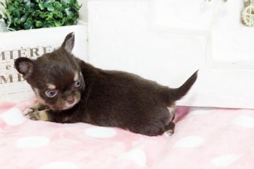 チワワ(ロング)の子犬(ID:1255411644)の4枚目の写真/更新日:2017-05-11