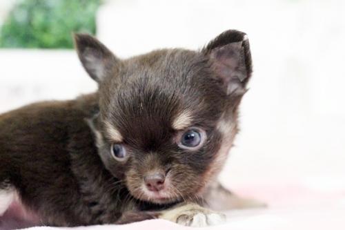 チワワ(ロング)の子犬(ID:1255411644)の5枚目の写真/更新日:2017-05-11