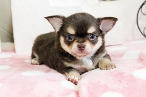 チワワ(ロング)の子犬(ID:1255411645)の1枚目の写真/更新日:2017-05-11