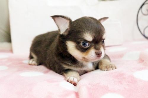 チワワ(ロング)の子犬(ID:1255411645)の2枚目の写真/更新日:2017-05-11