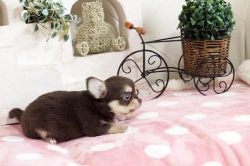チワワ(ロング)の子犬(ID:1255411645)の3枚目の写真/更新日:2017-05-11