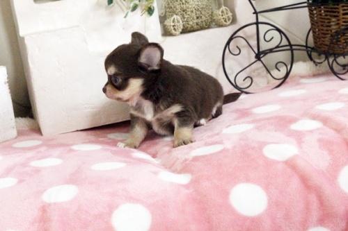チワワ(ロング)の子犬(ID:1255411645)の4枚目の写真/更新日:2017-05-11