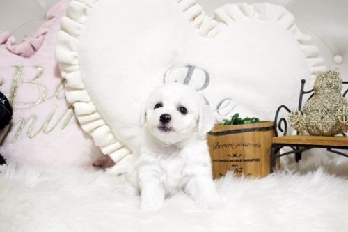 ビションフリーゼの子犬(ID:1255411646)の1枚目の写真/更新日:2017-05-11
