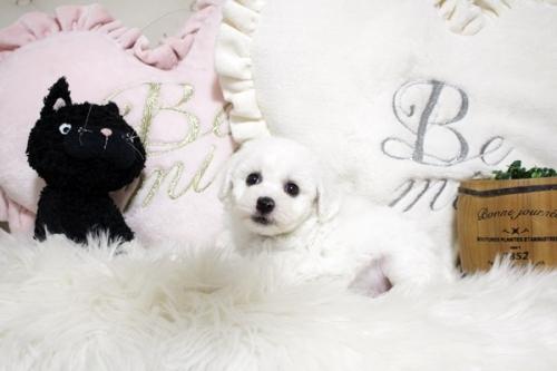 ビションフリーゼの子犬(ID:1255411646)の2枚目の写真/更新日:2020-04-08