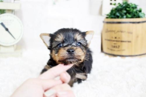 ヨークシャーテリアの子犬(ID:1255411647)の1枚目の写真/更新日:2017-05-16