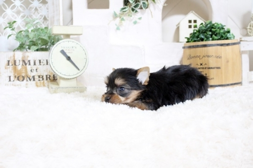 ヨークシャーテリアの子犬(ID:1255411647)の4枚目の写真/更新日:2017-05-16
