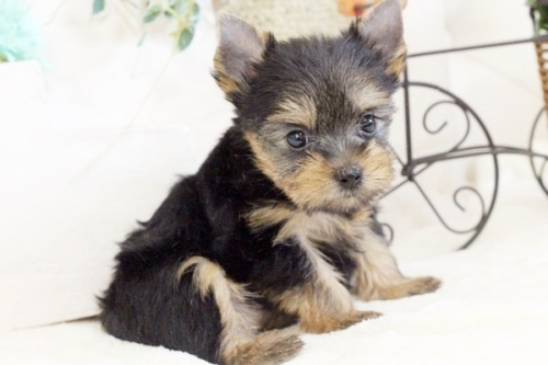 ヨークシャーテリアの子犬(ID:1255411648)の1枚目の写真/更新日:2017-05-16