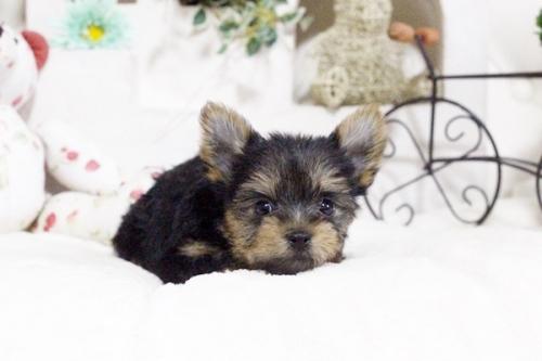 ヨークシャーテリアの子犬(ID:1255411648)の2枚目の写真/更新日:2017-05-16