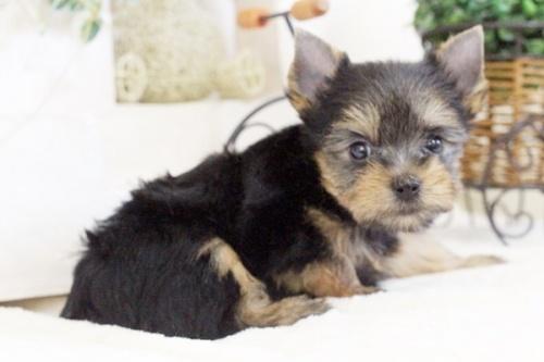 ヨークシャーテリアの子犬(ID:1255411648)の3枚目の写真/更新日:2017-05-16