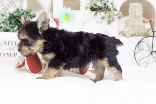 ヨークシャーテリアの子犬(ID:1255411648)の4枚目の写真/更新日:2017-05-16