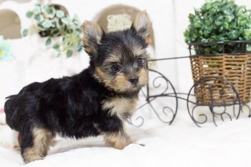 ヨークシャーテリアの子犬(ID:1255411648)の5枚目の写真/更新日:2017-05-16