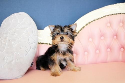 ヨークシャーテリアの子犬(ID:1255411649)の2枚目の写真/更新日:2017-05-16