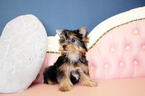 ヨークシャーテリアの子犬(ID:1255411649)の3枚目の写真/更新日:2017-05-16