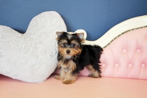 ヨークシャーテリアの子犬(ID:1255411649)の4枚目の写真/更新日:2017-05-16