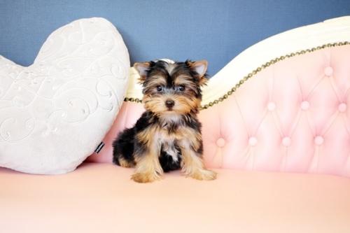 ヨークシャーテリアの子犬(ID:1255411649)の5枚目の写真/更新日:2017-05-16