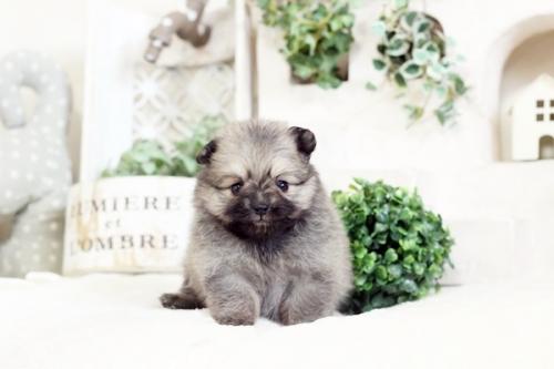 ポメラニアンの子犬(ID:1255411651)の1枚目の写真/更新日:2017-05-16